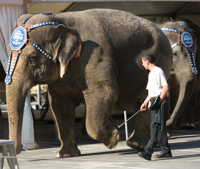Circus Elephant Trainer with bullhook