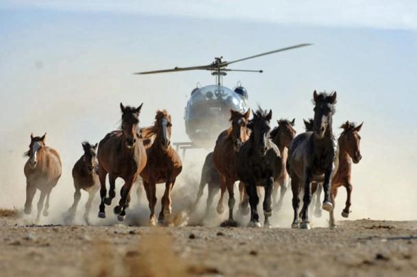Wild horse roundup in Canada