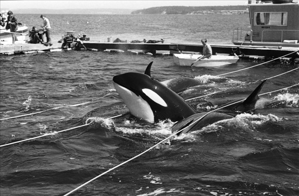 The capture of Lolita, who is now at the Miami Seaquarim