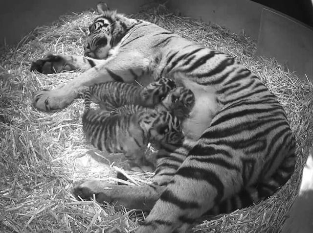 Tiger Cubs at London Zoo