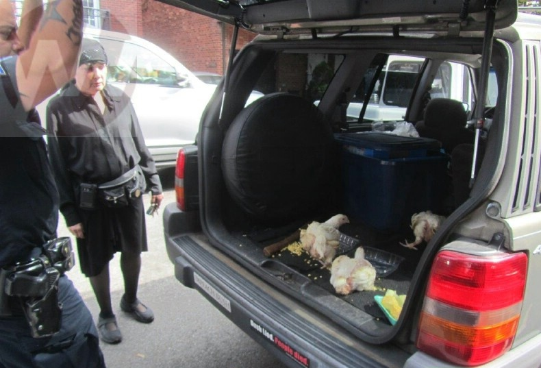 Liberated chickens are free no more (photo: Yeshiva World News)