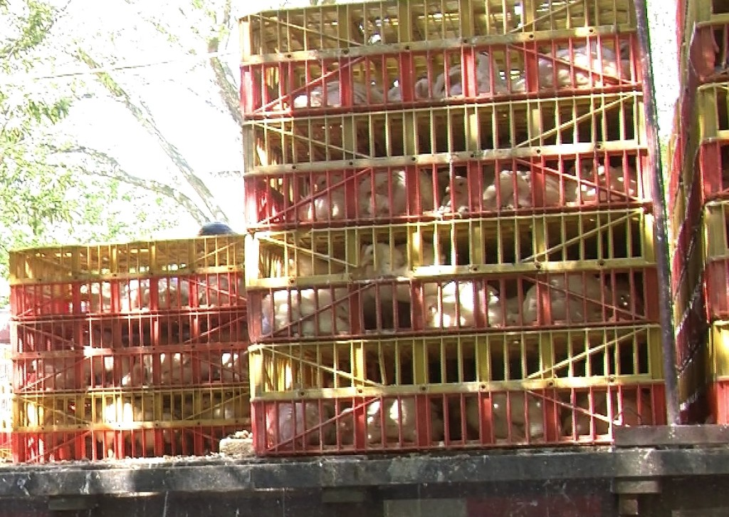 Tens of thousands of chickens are held captive in crates with no food or water before being swung and slaughtered in a sacrificial religious ritual