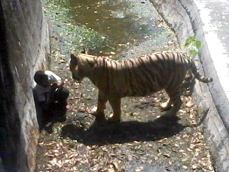 Tiger at India zoo kills patron