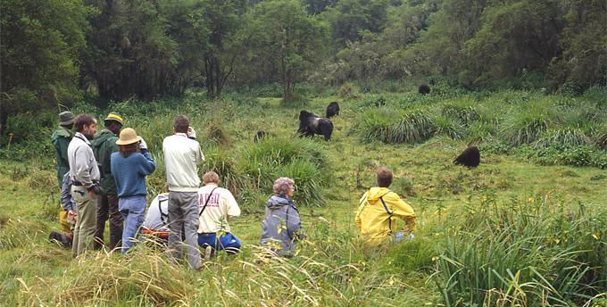 Gorilla Eco-Tourism in East Africa
