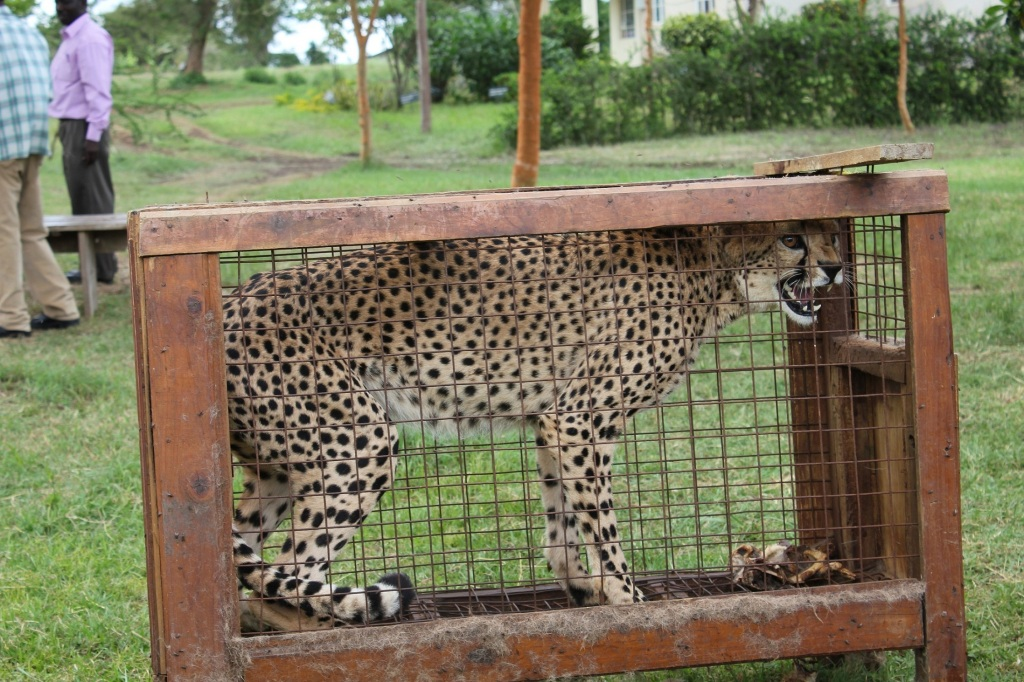 Captured cheetah by African border control