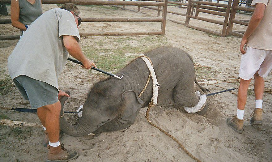 Ringling trainers tie down the baby elephants and  assault them with weapons to break them