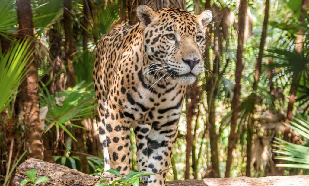 jaguar-in-jungle