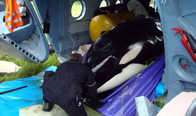 In 2012, Namia is transported after being captured(photo: Russianorca.com)