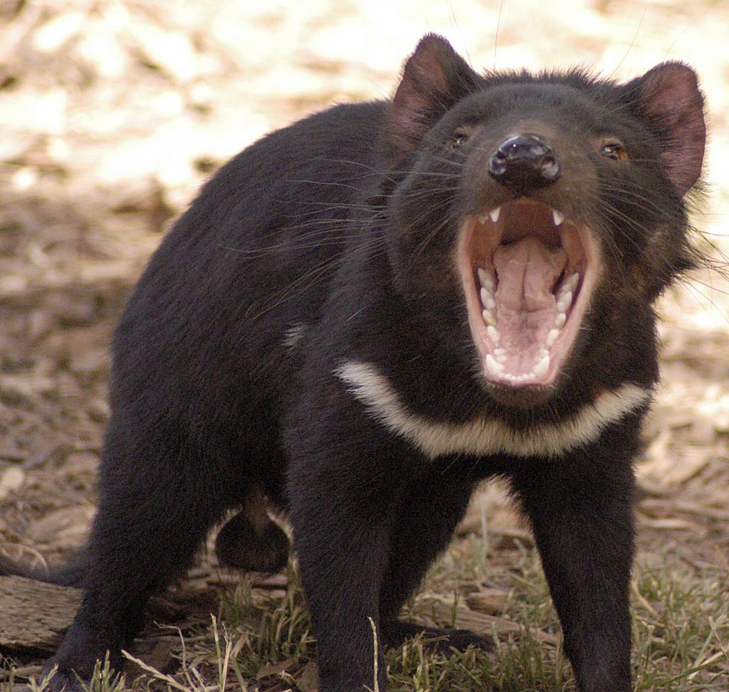 tasmanian devil screech