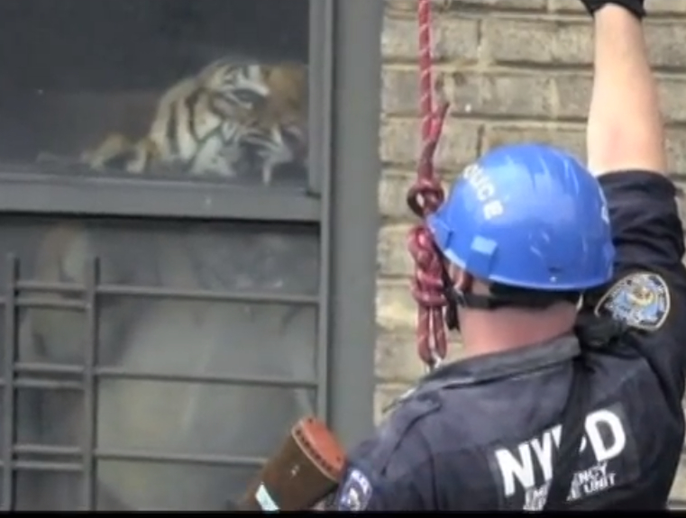Tiger in NYC apartment