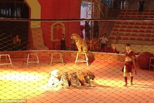 Tiger show at Leheledu Amusement Park in China
