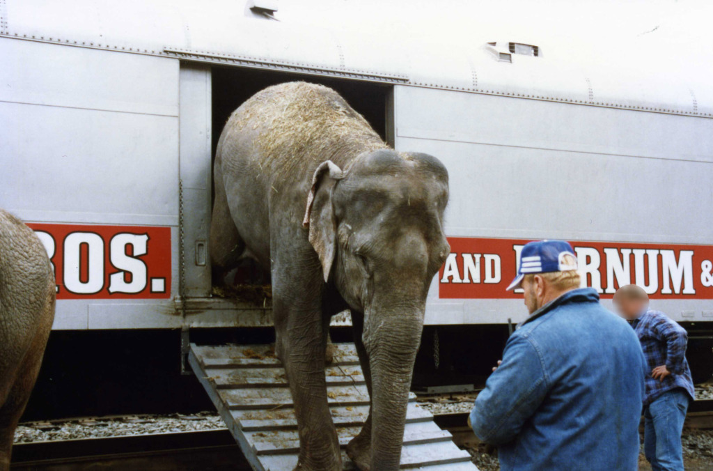 Ringling circus elephant in box car