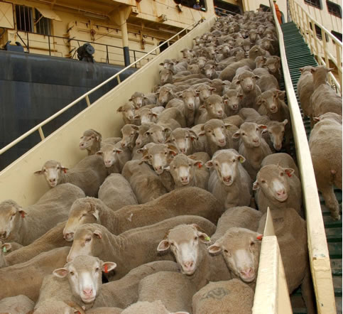Live export of sheep from Australia to the Middle East and Asia