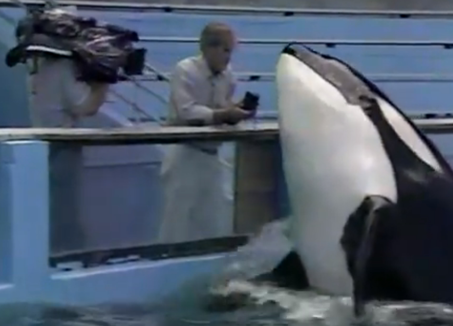 Lolita listens to vocalizations of her pod.