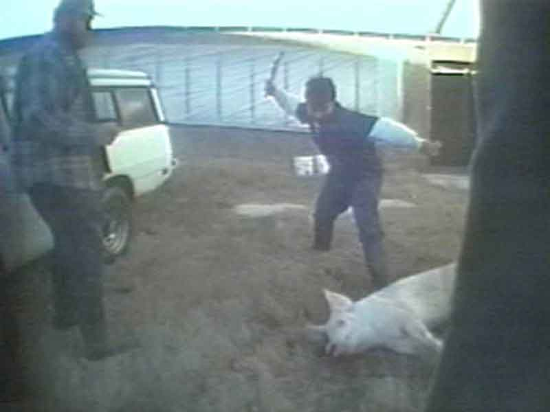Hidden cameras hold famers accountable (Photo: PETA)