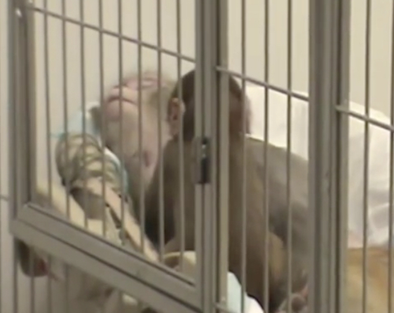 Infant monkey attempts to awaken her mother during maternal deprivation study.