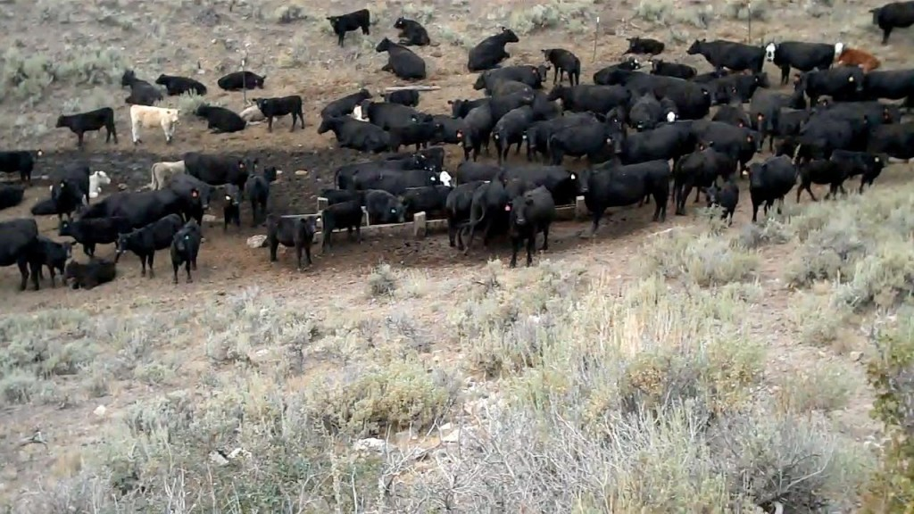 Cattle graze on public land (photo: thewildlifenews.com)