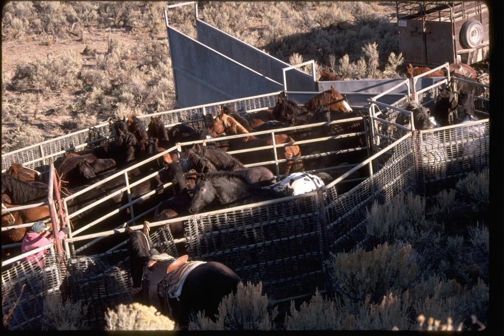 Wild horses in BLM trap (photo: equineink.com)