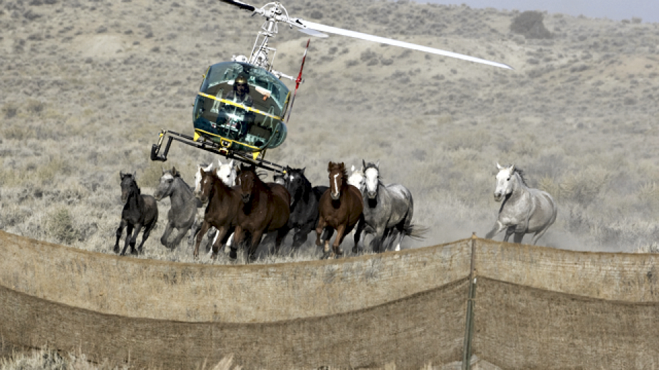 Helicopters chase terrified horses into traps (photo: returntofreedom.org)