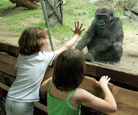 Captive gorilla (photo: Don Emmert /AFP - Getty Images file)