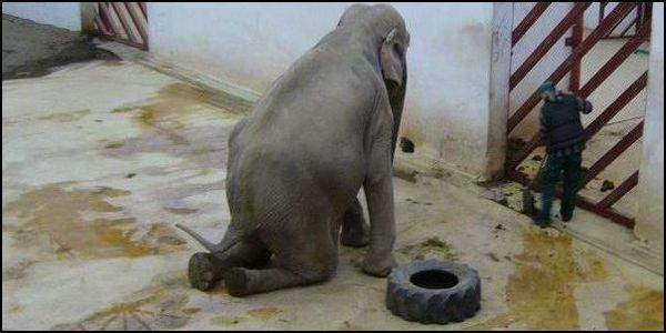 Are Elephants Mammals >> Nosey, Tanya & Mali: Captive Elephants In Crisis - Their Turn