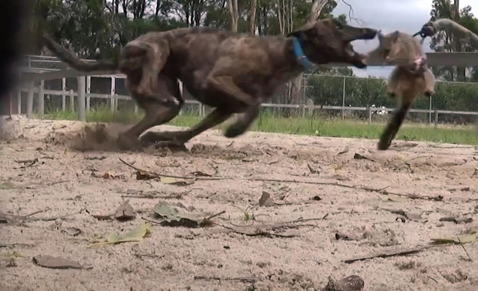 Greyhound in training chases live possum being used as bait (photo: AFP)