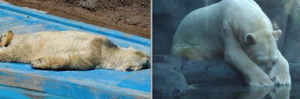 Polar bear Arturo is depressed and shows signs of insanity