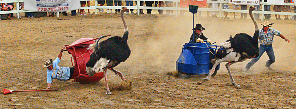 Ostrich chariot race