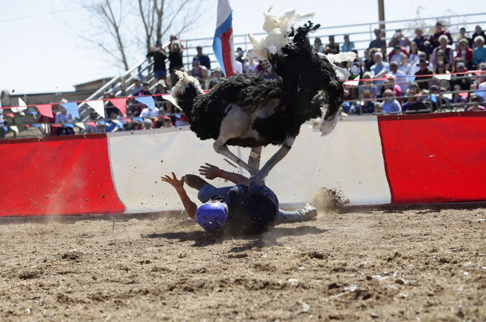 Ostrich tramples jockey during race