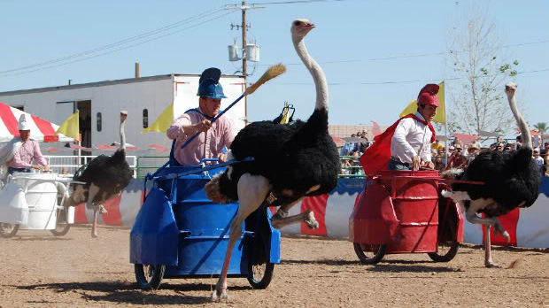 Ostriches pulling chariots around a track