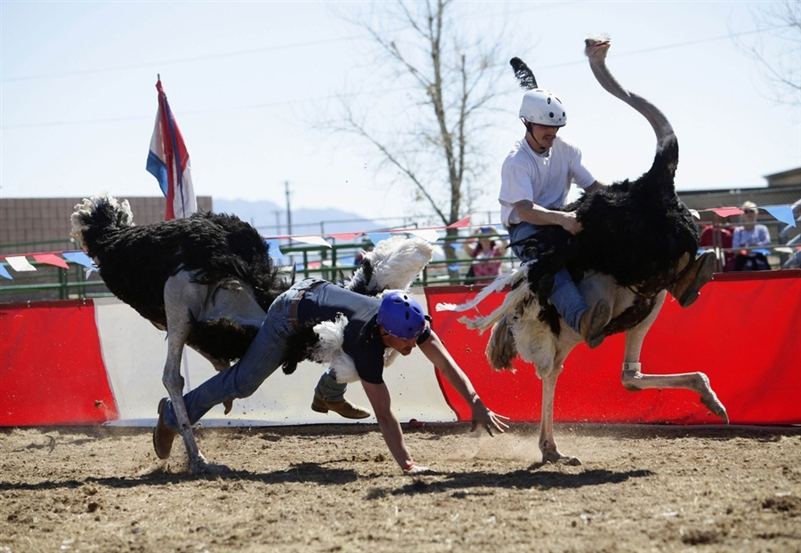 Ostrich racing accidents are common