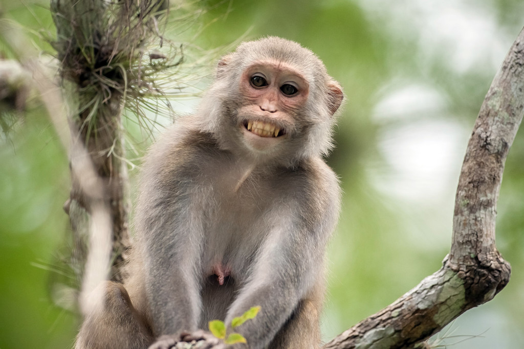 rhesus macacque monkey in Florida
