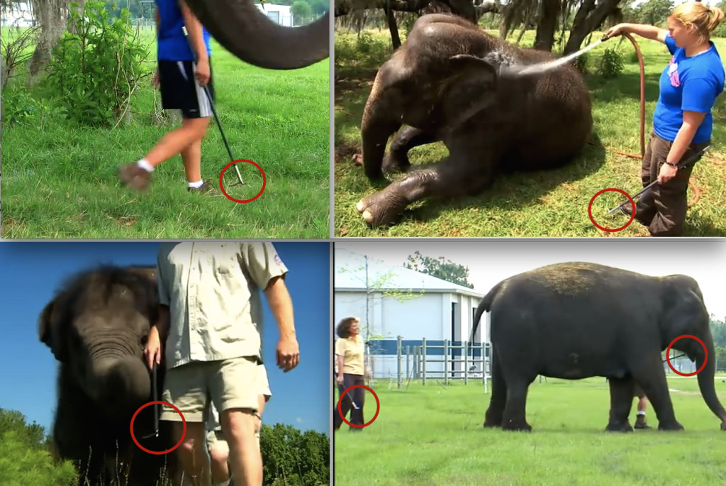 Employees use bullhooks at Ringling Conservation Center