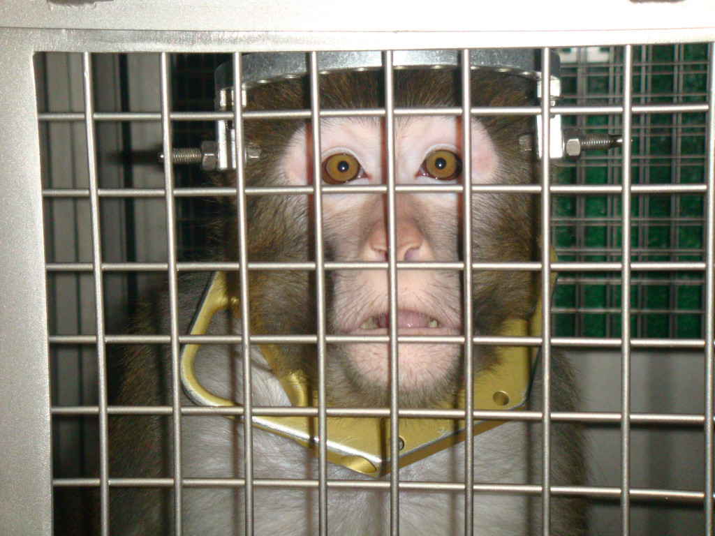 primate, Frik, with a device on his head in a cage