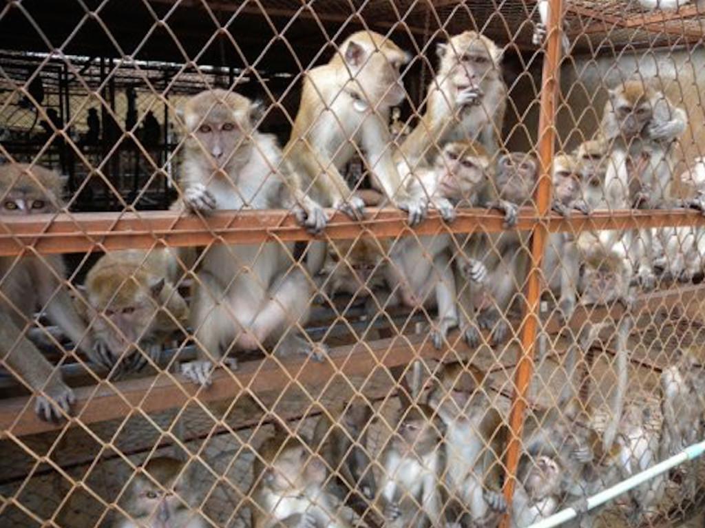 Macaque monkeys (photo: BUAV)