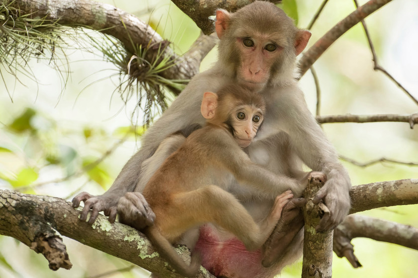 Hundreds of non-native wild macaque monkeys with herpes B virus live in Florida (photo: Graham McGeorge/ Barcroft Media)