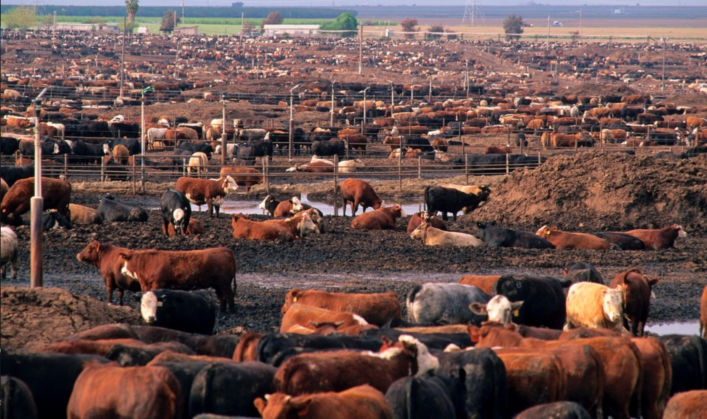 Cows in a California feedlot