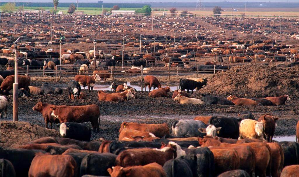 Cows in a California feedlot