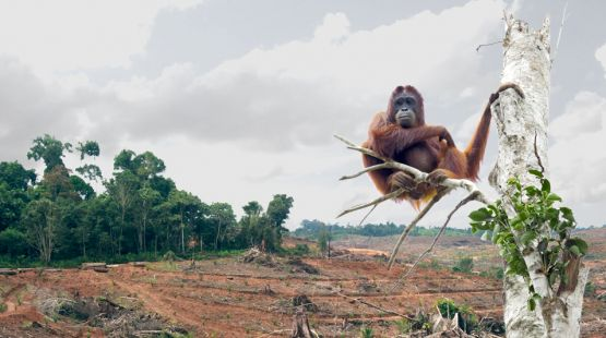 orangutans - victims of palm oil cultivation