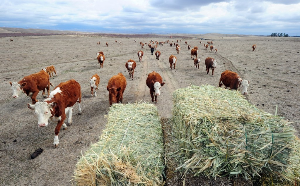 Cattle during California drought (photo: Frederic J. Brown/AFP/Getty Images)