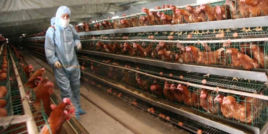 Bird flu outbreak in China in 2013 (Photo by ChinaFotoPress, Getty Images)
