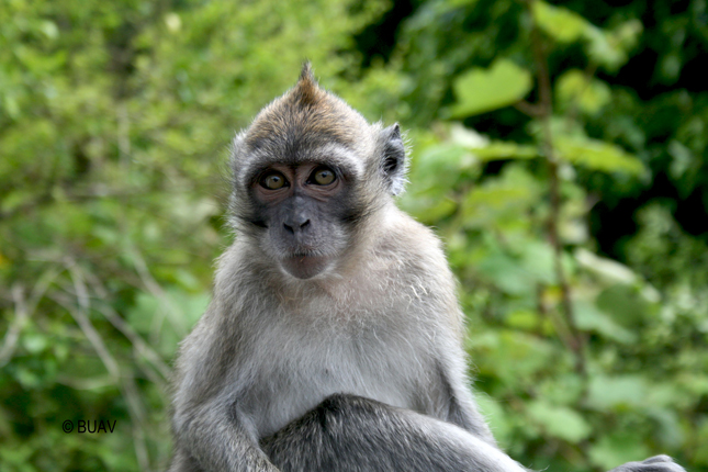 Wild monkey in Mauritius, one of three locations where Primate Products acquires monkeys to breed and sell (photo: BUAV)