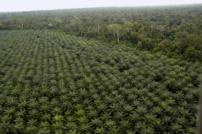 Palm oil plantation on newly cleared rainforest