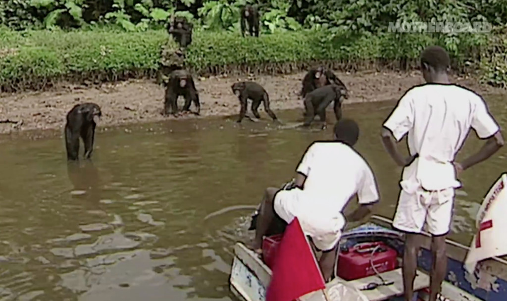 Liberians care for chimps who were relocated to islands near Monrovia, Liberia, when the research program ended in 2005.