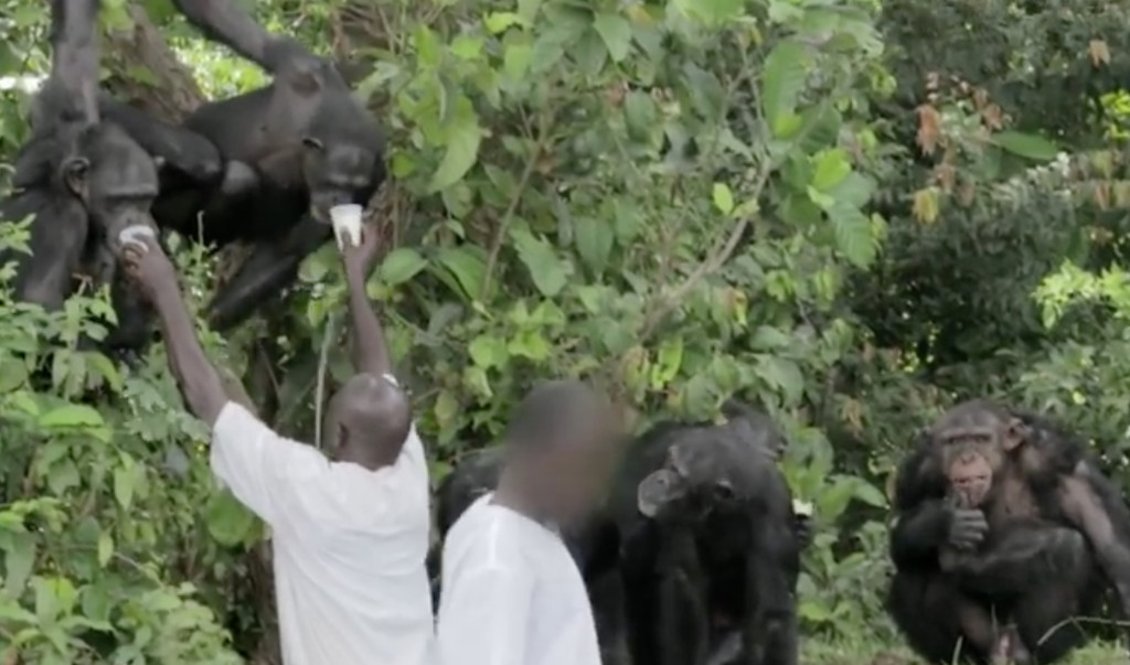 Workers feed former laboratory chimps living on secluded islands near Liberia's capital, Monrovia.