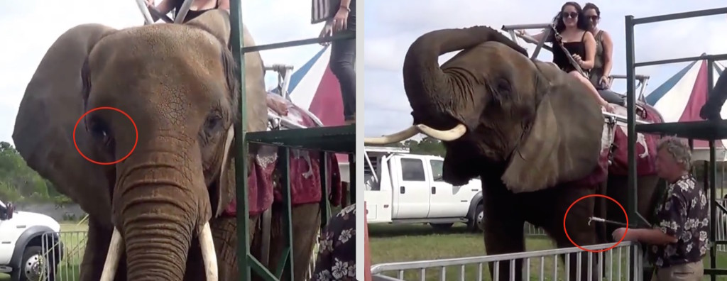 Under threat of bullhook, Nosey is forced to give rides in spite of eye infection and arthritis