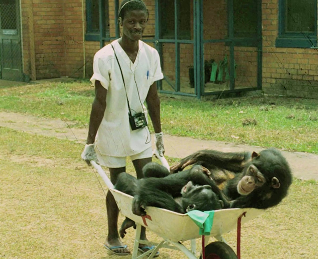 chimps-research-liberia-barrel