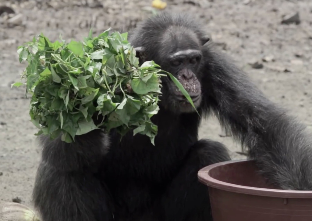 monkey-island-chimp-food