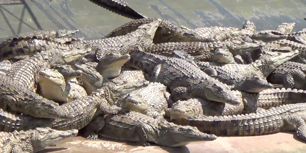 Crocodiles at Hermes supplier in Zimbabwe