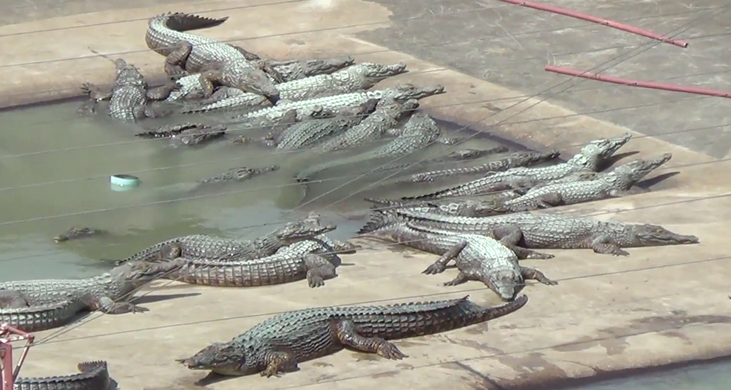 Alligators at farm that supplies Hermès live in excrement-filled concrete pits